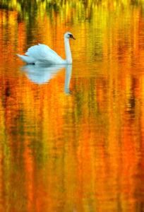 Firewater Swan - Fo Bugler