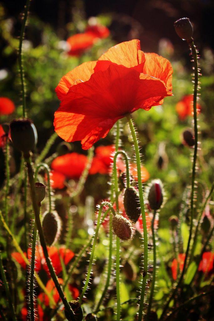 Poppies - Fo Bugler