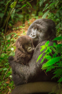Trekking with The Gorillas Rwanda