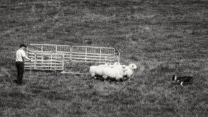 Cheselbourne Sheepdog Trial
