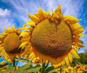 Sunflowers, Penne D'Agenais