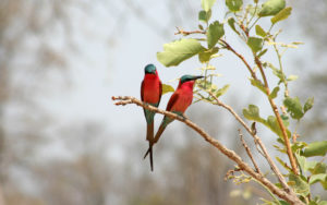 Carmine Bee-Eaters - Zambia - Chris Dowding