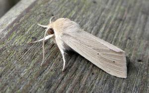 Common Wainscot moth - Chris Dowding