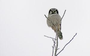 Hawk Owl - Sweden - Chris Dowding