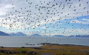 Little Auks - Spitsbergen - Chris Dowding