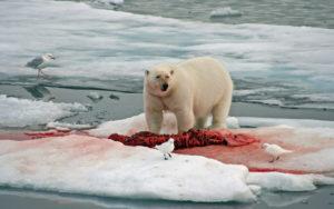 Polar Bear - Spitsbergen - Chris Dowding