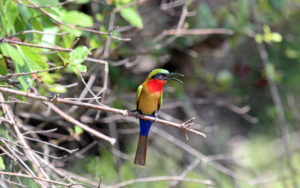 Red-throated Bee-eater Ghana (1) - Chris Dowding