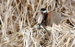 Reed Buntings mating - Grey Lake - Chris Dowding