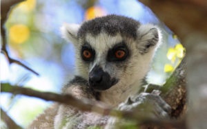 Ringed-tailed Lemur - Madagascar - Chris Dowding