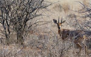 Steenbok - Kalahari - Chris Dowding