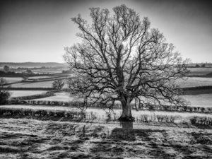 Misty Old Oak
