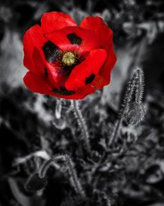 Poppy,  Forde Abbey