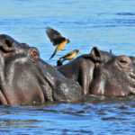 Hippos and Ox Peckers - Colin