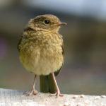 Juvenile Robin - Chas
