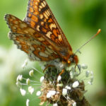 Marsh Frit butterfly - Chas