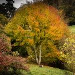 Autumn Acer-Malcolm