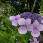 Lacecap Hydrangea-Chris Dowding
