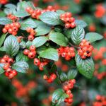 Berries - Richard Miles