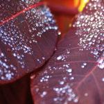 Leaf Droplets-Richard Miles
