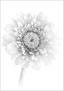 Chrysanthemum-Sarah