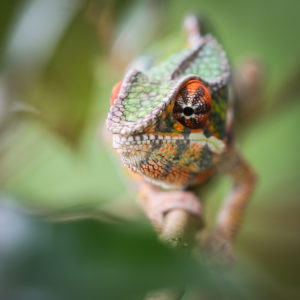 Panther Chameleon-Mark Tatchell