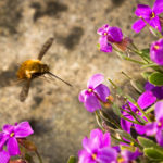 Bee-fly and Aubrieta-Roger