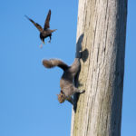 Starling Attacks Squirrel-Mark Tatchell