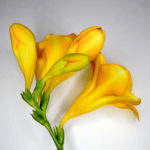 Chris Dowding-Freesia