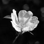 David H - Wild Rose