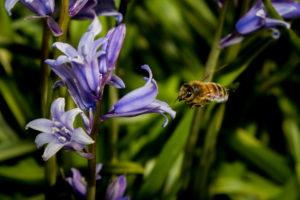 Honeybee approaching bluebell - Roger Gibson