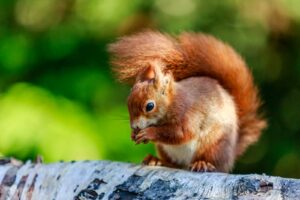Red Squirrell in Hampshire