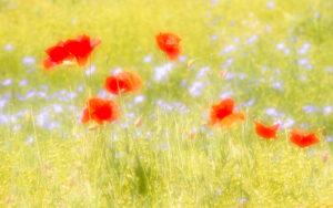 Summer fields - Malcolm Balmer
