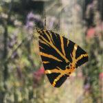 Pam - Jersey Tiger Moth