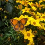 Pam - Gatekeeper Butterfly