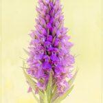 Sarah -  Orchid, Ham Hill