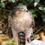 Peter - Sparrow Hawk