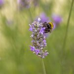 Sarah - The Lavender was a Busy Place to Bee