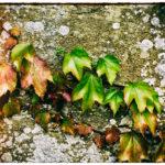 Malcolm - Vine Leaves