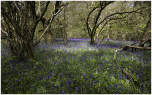 Elizabeth - The Bluebell Wood