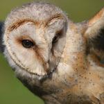 Captive Owl - David Hansford