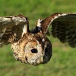 Tawny Owl - Paul Meyer