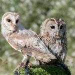 Tawny Owls - Anders Mattsson