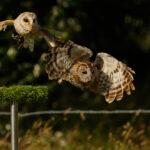Two Owls - Mary Braddock